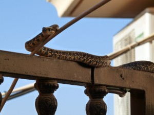 snake almeria