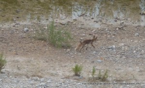 fox in riverbed rio aguas above turre almeria mojacar zorro