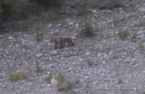 vixen cub in riverbed rio aguas above turre almeria mojacar zorro
