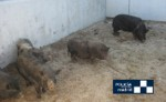 12 pot bellied pigs captured in Madrid city
