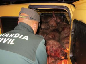 Dead pigs being taken away by the Guardia Civil